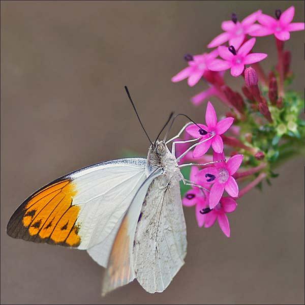 perierga.gr - Η άγνωστη πεταλούδα με τα δηλητηριώδη φτερά!