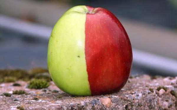 perierga.gr - Δίχρωμο μήλο: Ένας σπάνιος καρπός!
