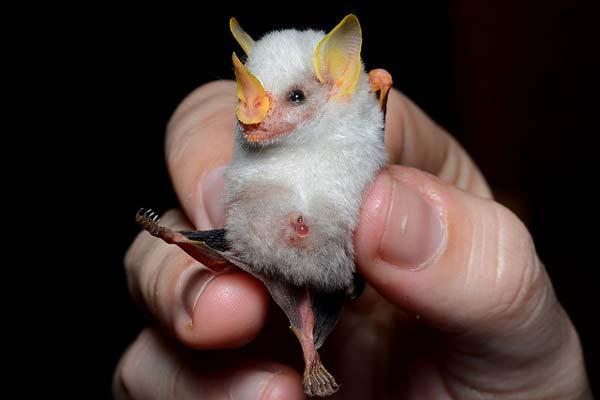 perierga.gr - Αξιαγάπητες λευκές νυχτερίδες…