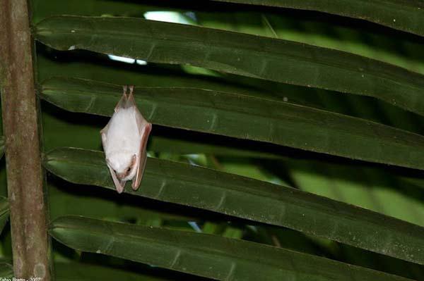 perierga.gr - Οι νυχτερίδες δεν είναι μόνο μαύρες...