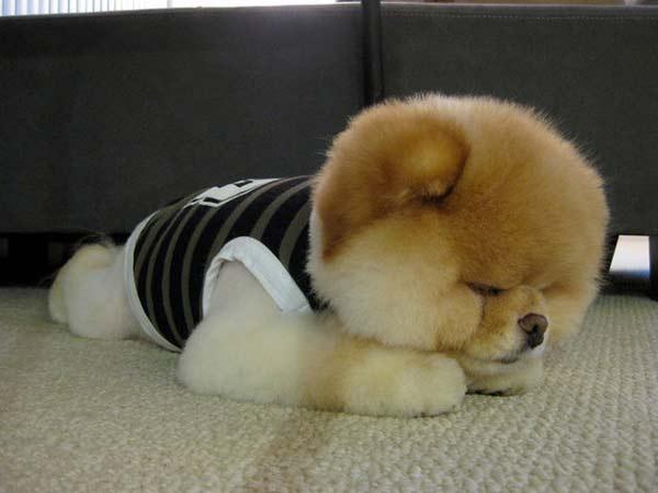 perierga.gr - Boo: Το πιο δημοφιλές σκυλί στον κόσμο σε νέες πόζες!