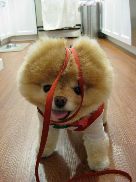 perierga.gr - Βοο: Το πιο δημοφιλές σκυλί στον κόσμο σε νέες πόζες!