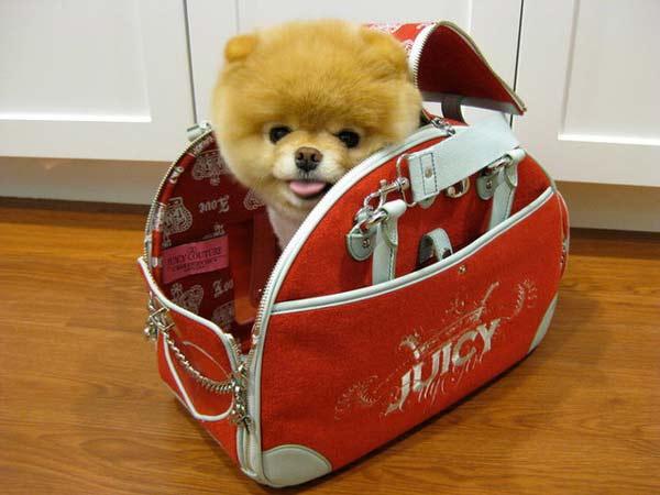 Boo: Το πιο δημοφιλές σκυλί στον κόσμο σε νέες πόζες!