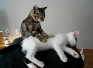 perierga.gr - Αξιολάτρευτο γατάκι κάνει μασάζ στον φίλο του!