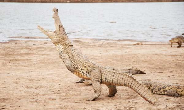 perierga.gr - Κροκόδειλος στέκεται στα δυο του πόδια!