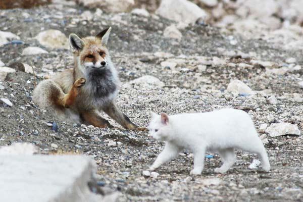perierga.gr - Αλεπού και γάτα: Μια παράξενη φιλία!