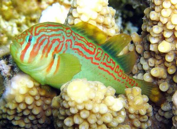 perierga.gr - Παράξενο ψάρι... σωματοφύλακας!