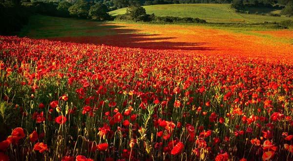 perierga.gr - Πανδαισία χρωμάτων σε εκτάσεις με παπαρούνες!