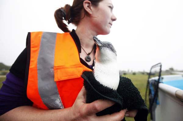 perierga.gr- Πλεκτάπουλόβερ σώζουν τη ζωή των πιγκουίνων!