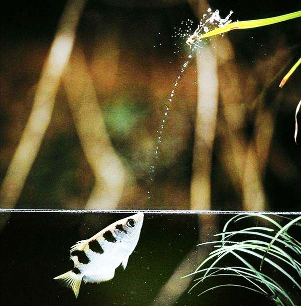 perierga.gr - Απίστευτο ψάρι κυνηγάει έξω από το νερό!