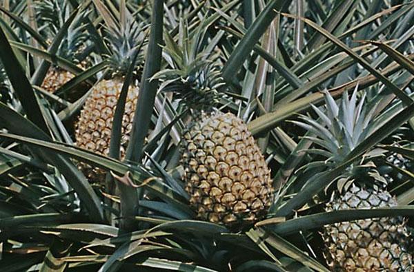 Perierga.gr - Το φυτό που παράγει τον ανανά δεν είναι δέντρο!