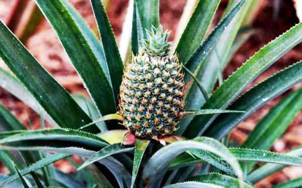 perierga.gr - Το ακριβότερο φρούτο στον κόσμο!