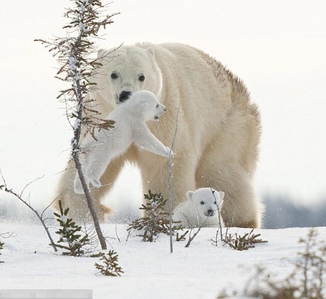 Perierga.gr - Η πιο στοργική πολική αρκούδα στον κόσμο