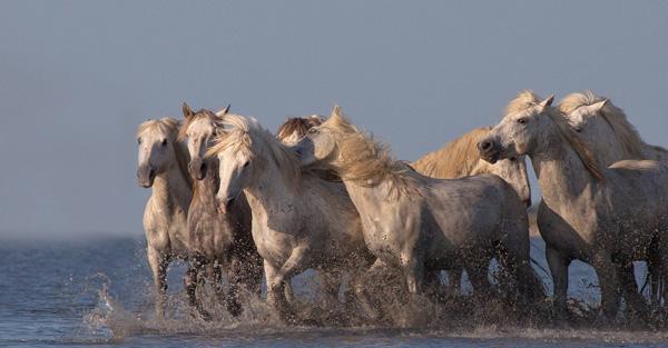 Perierga.gr - Λευκά άλογα φωτογραφίζονται στις όχθες της θάλασσας
