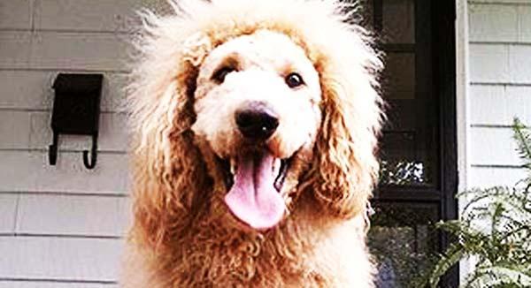 perierga.gr - Πανικός με τον σκύλο που μοιάζει με λιοντάρι!