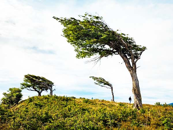 perierga.gr - Παράξενα δέντρα γέρνουν μόνιμα από τη μία πλευρά!