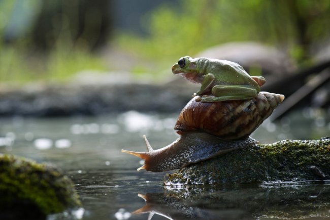 perierga.gr - Τεμπέλης βάτραχος μεταφέρεται από... σαλιγκάρι!