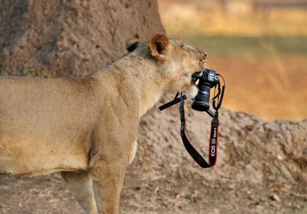 perierga.gr - Λιοντάρι κλέβει τη φωτογραφική μηχανή του φωτογράφου!