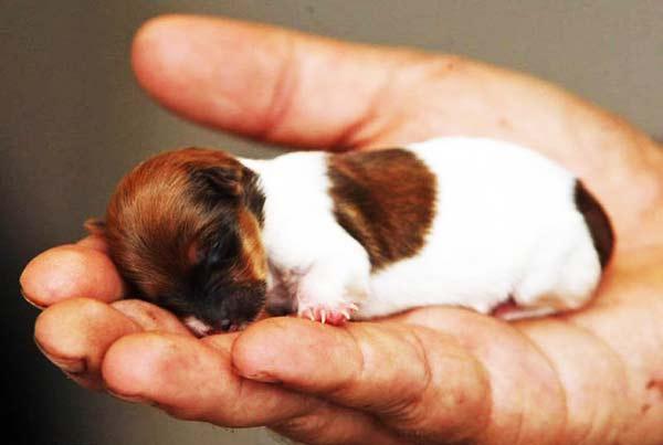 perierga.gr - Πιο μικρό σκυλί δεν γίνεται (γίνεται;)!