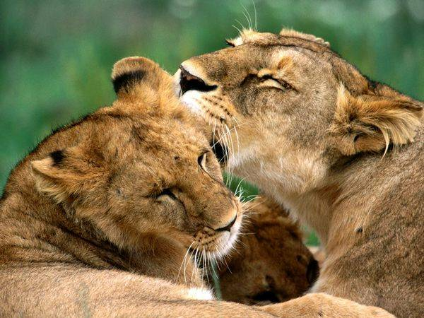 perierga.gr - Χωρίς λιοντάρια κινδυνεύει να μείνει η Αφρική!