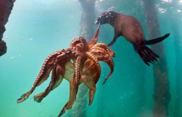 perierga.gr - Φώκια VS Χταπόδι: Μάχη για την επιβίωση!
