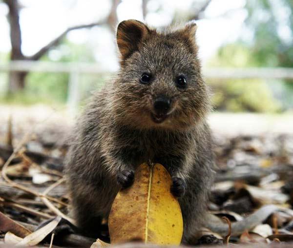 perierga.gr - Quokka: Το πιο ευτυχισμένο ζώο στον πλανήτη!