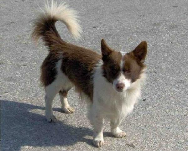 Perierga.gr - Αρχαιοελληνική ράτσα σκύλου ζει αλλά κινδυνεύει!