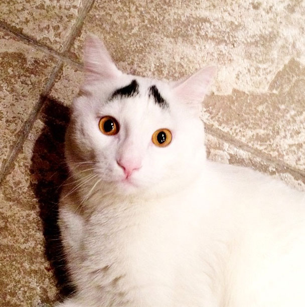 perierga.gr - Μια συνήθιστη γάτα με... φρύδια!!!