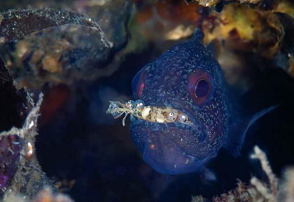 perierga.gr - Αρσενικό ψάρι επωάζει τα αυγά στο... στόμα του!