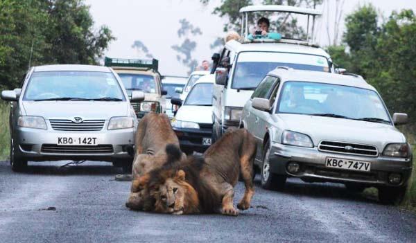 perierga.gr - Λιοντάρια προκαλούν μποτιλιάρισμα στο δρόμο!