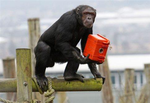 perierga.gr - Γηροκομείο για χιμπατζήδες!