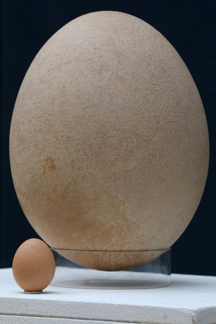 perierga.gr - Αυγό-γίγας πτηνού του 17ου αιώνα... βγαίνει στο σφυρί!