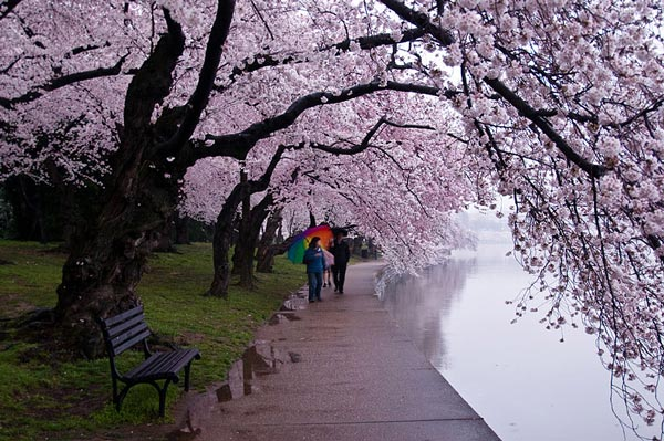 perierga.gr - Φανταστικές εικόνες από ανθισμένες κερασιές!