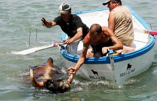 """Perierga.gr - Ταύροι """"πετούν"""" τον κόσμο… στη θάλασσα!"""
