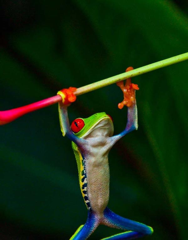 """Ο βάτραχος """"γελωτοποιός""""!"""