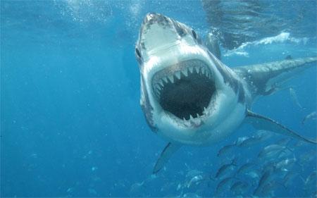 Perierga.gr - Το ταξίδι ενός λευκού καρχαρία online!