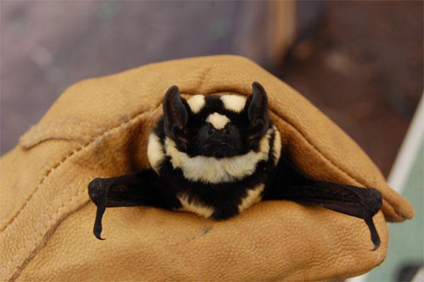 Perierga.gr - Νυχτερίδα «πάντα» ανακαλύφθηκε στο Σουδάν
