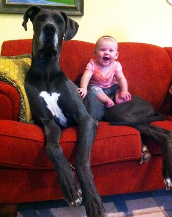 perierga.gr - Απίθανα σκυλιά... γίγαντες!