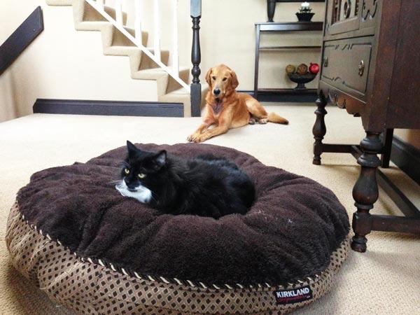 perierga.gr - Οι γάτες κέρδισαν τους σκύλους στη... μάχη του κρεβατιού!
