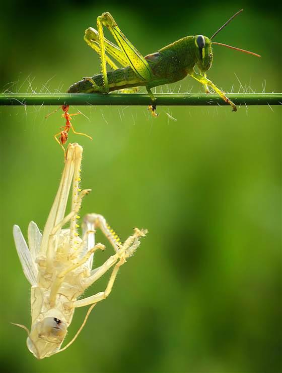 perierga.gr - Μια ακρίδα... ξεγυμνώνεται στο φακό!