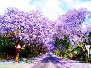 perierga.gr - Εντυπωσιακός ανθισμένος δρόμος στην πόλη!