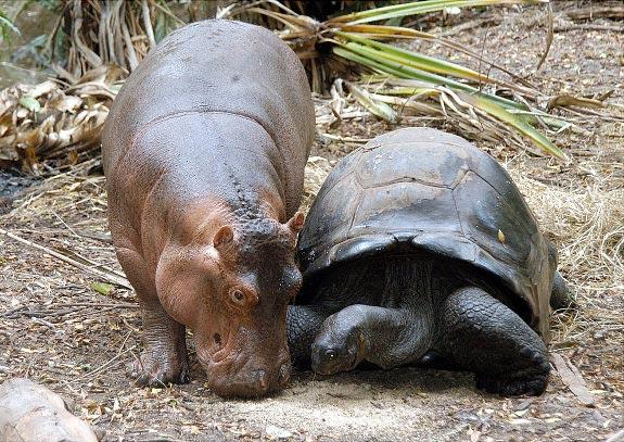 perierga.gr - Όταν ο ιπποπόταμος συνάντησε τη χελώνα!