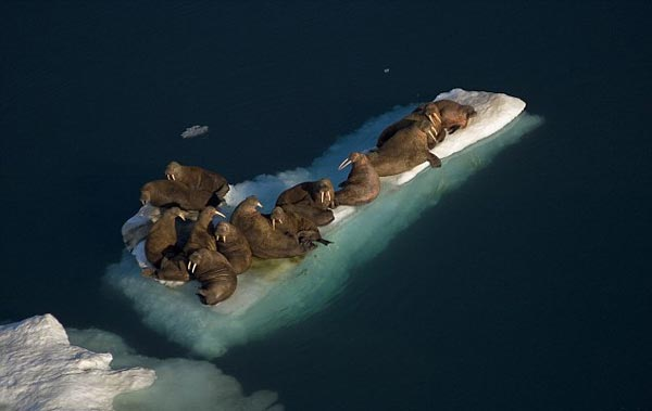 perierga.gr - Ασυνήθιστο νησί σχηματίζουν θαλάσσιοι ίπποι στην Αλάσκα!