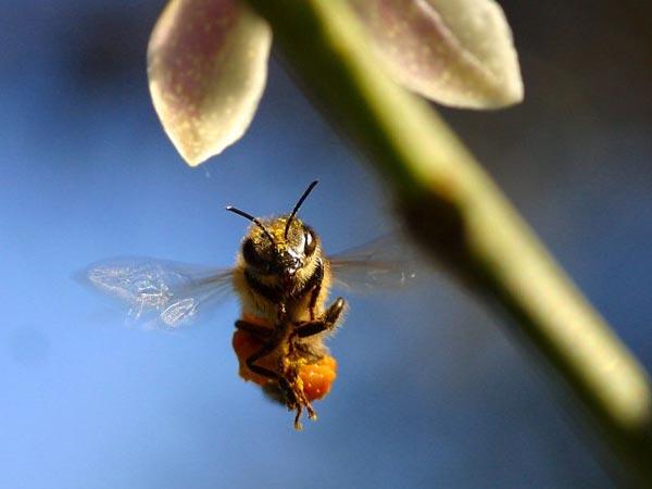 perierga.gr - Μέλισσες εκπαιδεύονται ως ναρκαλιευτές!