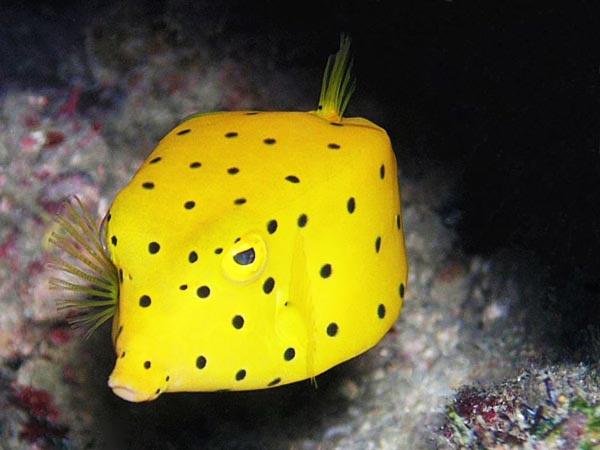 perierga.gr - Boxfish: Το παράξενο ψάρι-κουτί!
