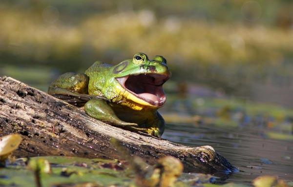 perierga.gr - Bullfrog: Ένας βάτραχος... γίγαντας!