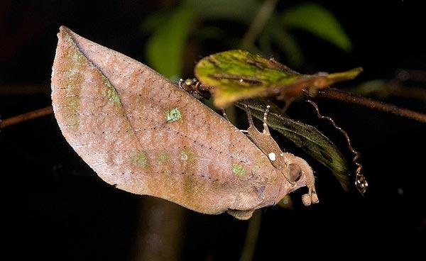 perierga.gr - Eudocima salaminia: Μια ζωντανή... οφθαλμαπάτη!