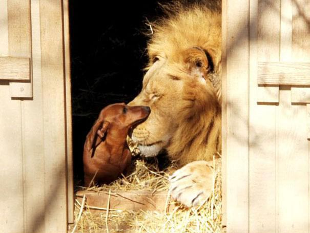 perierga.gr - Τρυφερός σκύλος περιποιείται... λιοντάρι!