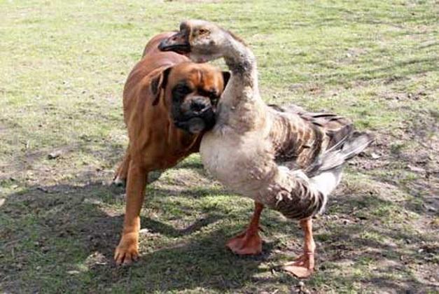 "perierga.gr - Χήνα ""οδηγός"" για τυφλό σκύλο!"