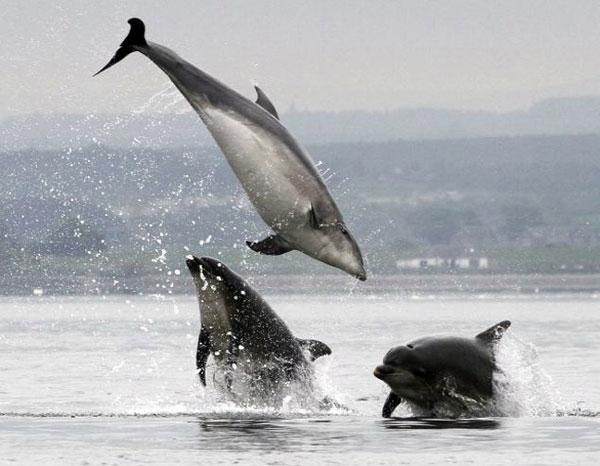Perierga.gr - Δελφίνια κυνηγούν σολωμούς!